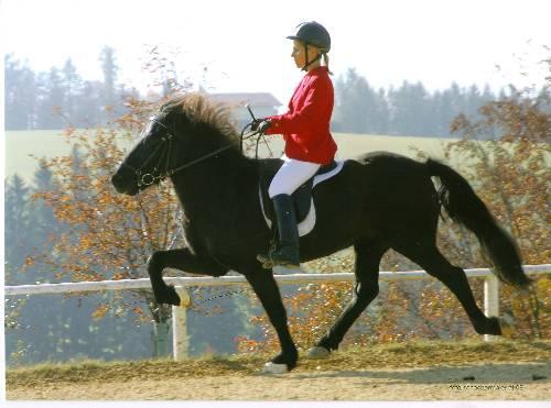 Erfolgreichster Steirischer Isländer Pferdezucht Austria